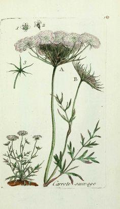 Herbier Carotte