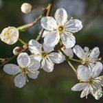 Mirabellier en fleurs2