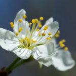Mirabellier en fleurs3